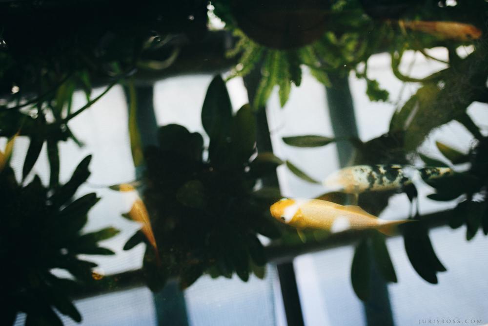 zelta zivtiņas