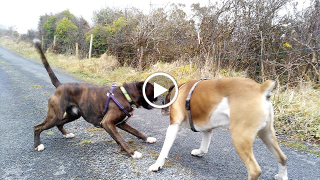 boxer dogs playing video