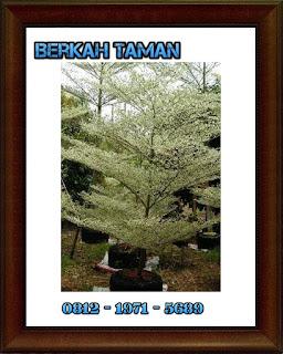 pohon ketapang kencana varigata - tanaman hias - tanaman pelindung