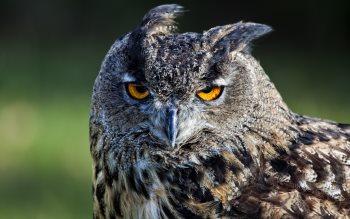 Wallpaper: Owl