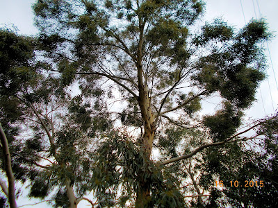 Ευκάλυπτος: σπορά φύτεμα καλλιέργεια