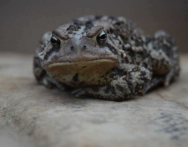 American Toad...warts and all.