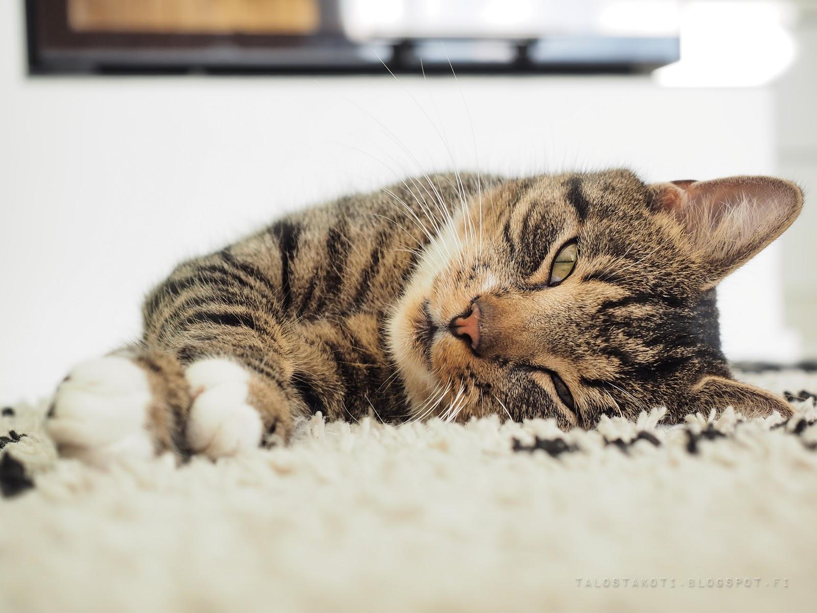 kissa, valokuvaus
