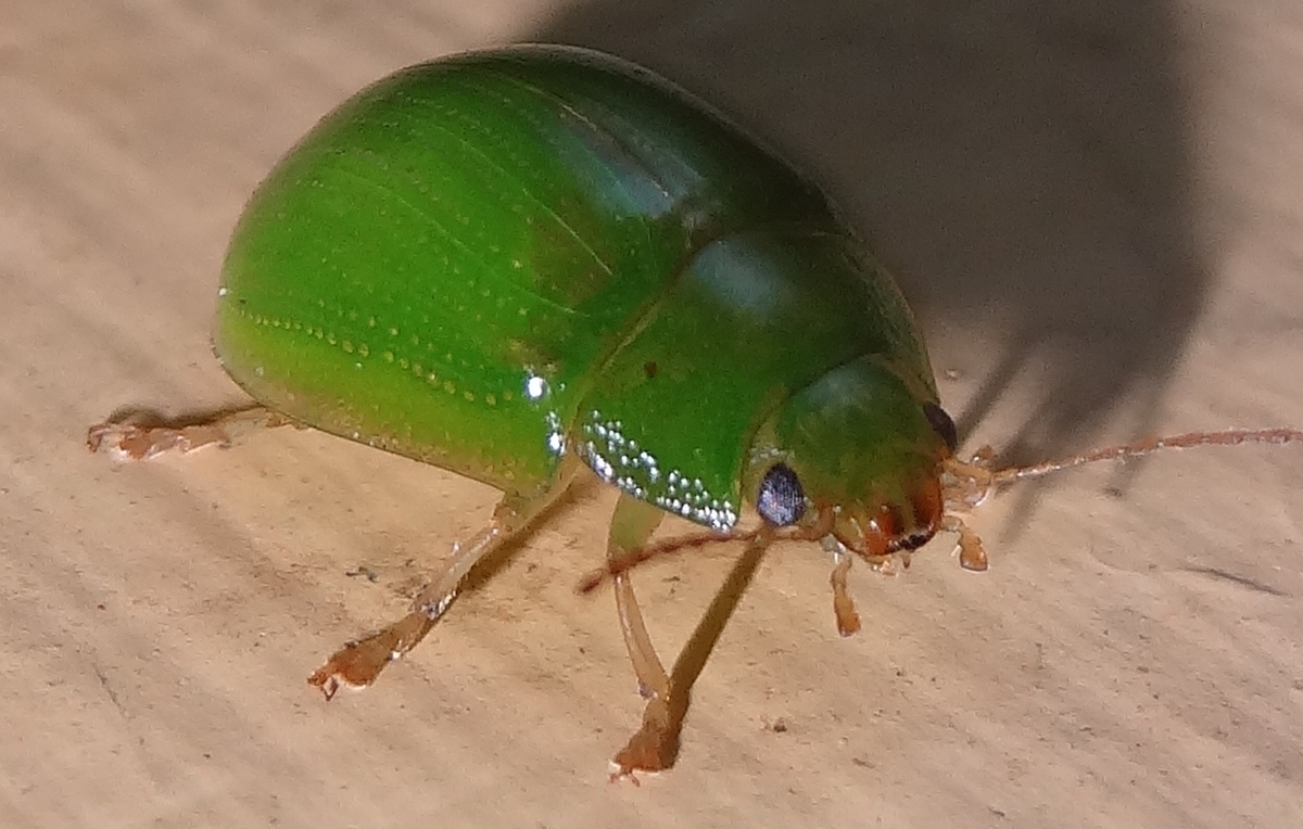 coffs harbour garden club pest alert for lilly pilly hedges