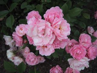 rose melle suzanne Bidard