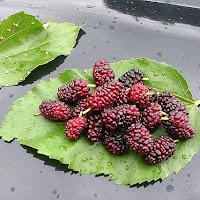 owoce morwy