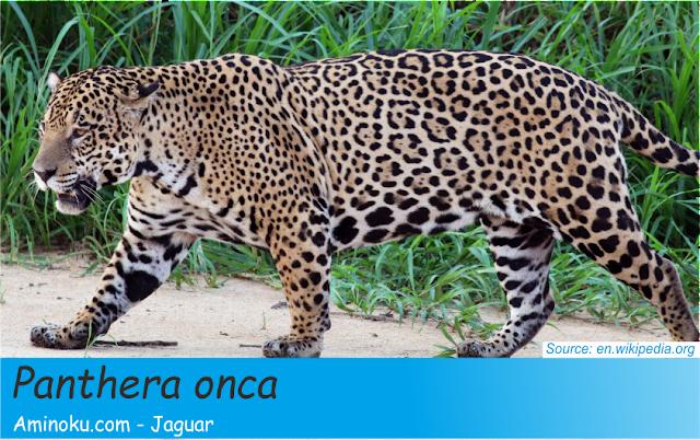 Fakta unik jaguar