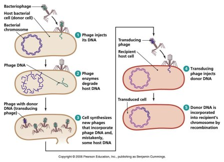 Bacterial transduction generalized and specialized biology exams 4 u biology exams 4 u ccuart Images