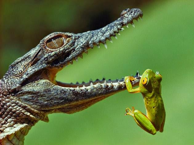 تمساح يحاول أن يأكل الضفادع (جنوب أفريقيا). الصورة من قبل Jonathan Blair