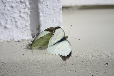 mating butterflies against white wall, photo by Corina Duyn