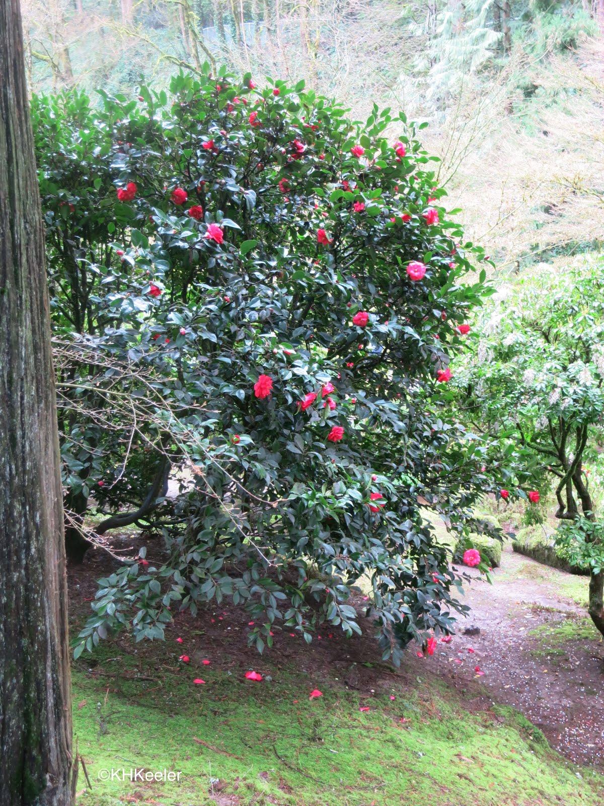 A Wandering Botanist: Visiting Portland--Japanese Garden