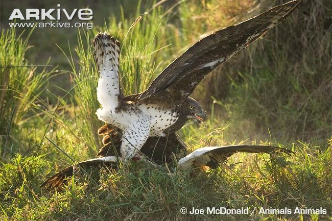 martial eagle hunting