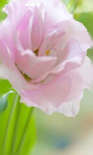 Flor rosa tierno fondos wallpaper para teléfono móvil resolución 480x800