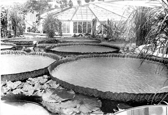 giant Victoria lilies, a 1929 photograph