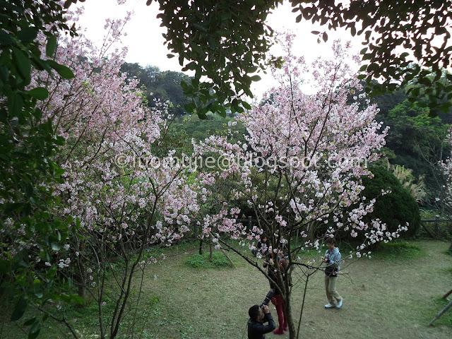 Yangmingshan cherry blossom