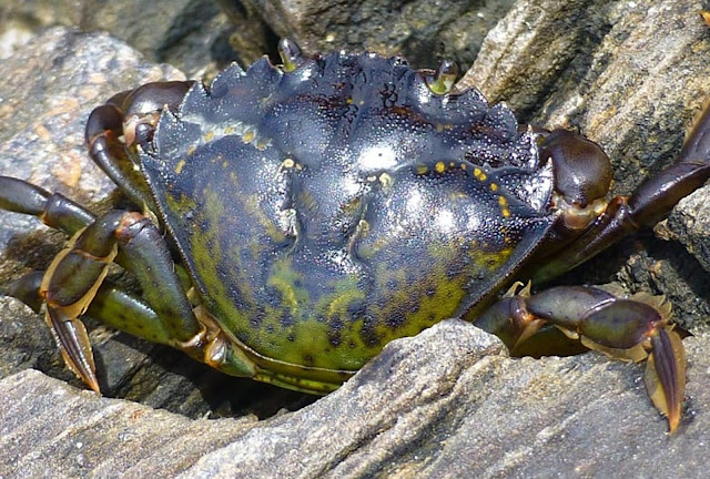 Crabe vert appat