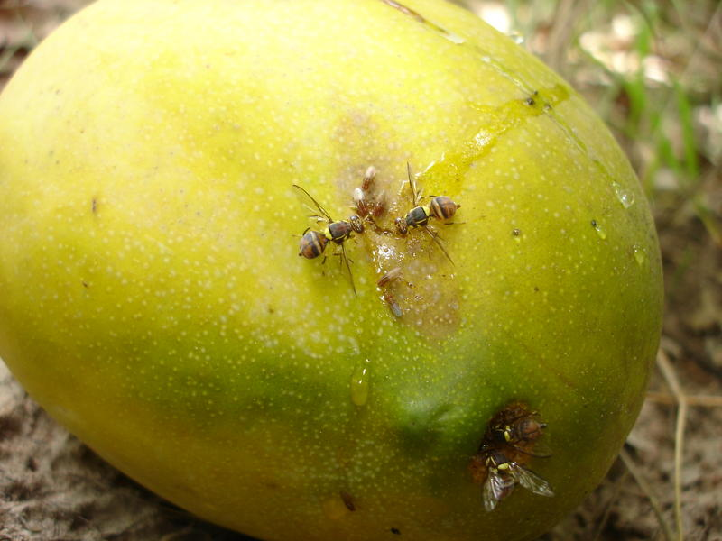 les mouches des fruits infestant la mangue