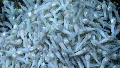 udang Rimicaris hybisae menyimpan informasi soal keberadaan alien