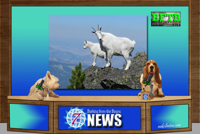 BFTB NETWoof News reports on relocating mountain goats