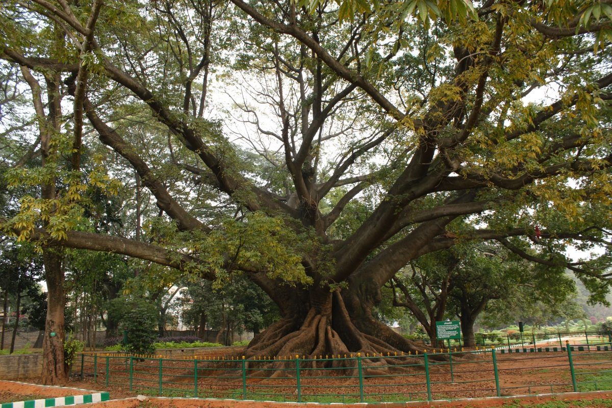 The Most Popular Giant Is The One Near West Gate, This Tree Literally  Doesnu0027t Have A Trunk.. Its Seems Its Roots Transition Into Branches.