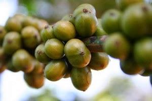 i chicchi di caffè verde causano la diarrea