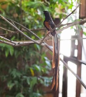 3 Ciri Ciri Fisik Burung Murai Batu Malaysia Paling Akurat
