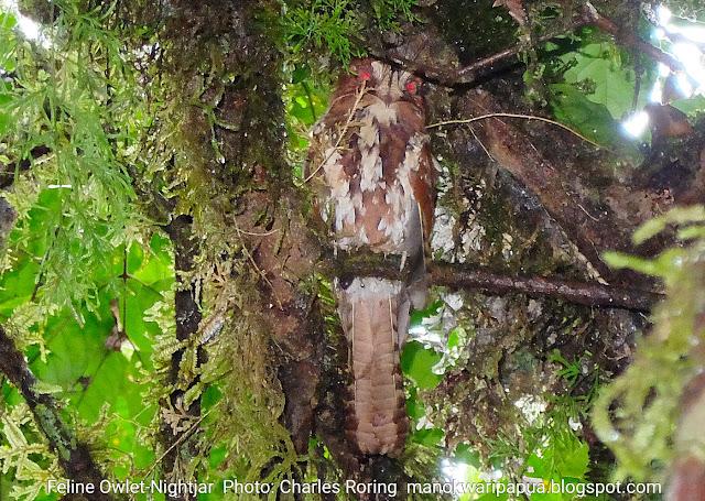Feline Owlet-nightjar (Aegotheles insignis)