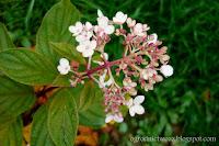 Hortensja bukietowa- Hydrangea paniculata