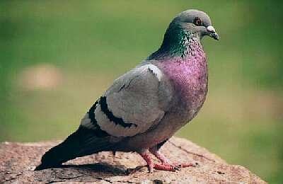 Foto de una paloma común