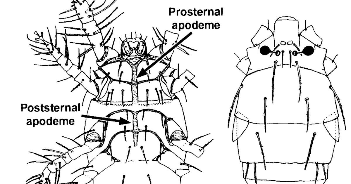 Variety of Life: Pygmephoroidea