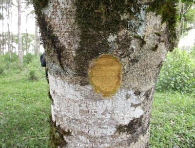 Ilex paraguariensis tronco