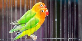Burung Lovebird Atau Burung Cinta