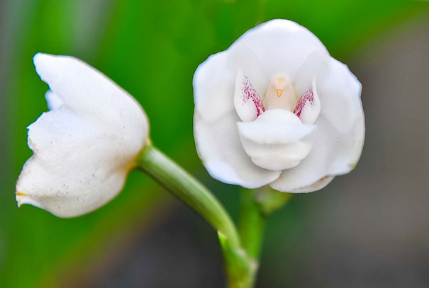 Done Orchid Or Holy Ghost Orchid (Peristeria Elata)-2