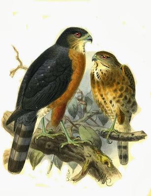 Gavilán besra Accipiter virgatus