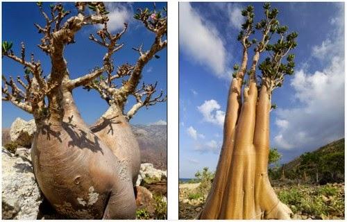 Pulau Socotra penuh tumbuhan aneh seperti payung |  liataja.com