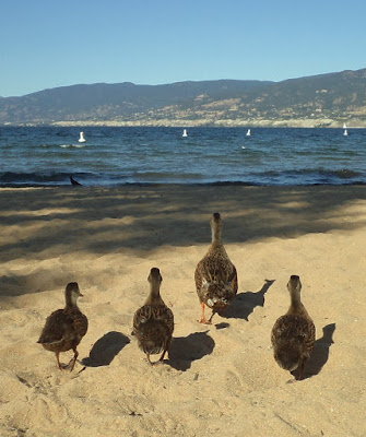 Ducks on Okanagan Lake