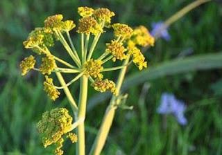 Φυτό της ελληνικής υπαίθρου δηλητηριάζει τον καρκίνο