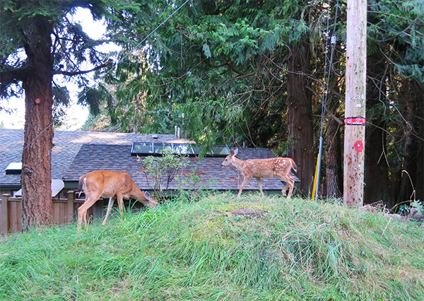 Deer spotted near Nectar Loft cottage at Nectar Yoga Bed and Breakfast in Bowen Island, Horseshoe Bay, Vancouver.