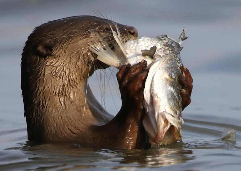 This gorgeous photo of an otter devouring its fresh catch were taken just for fun by local retired photographer Mohd Ishak, and posted on his Facebook page.