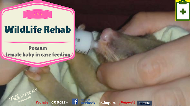 Rehab   Possum   female baby in care feeding