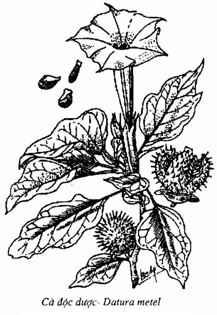 Hình vẽ Cây Cà Độc Dược - Datura metel - Nguyên liệu làm thuốc Chữa Ho Hen