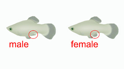 male and female platy