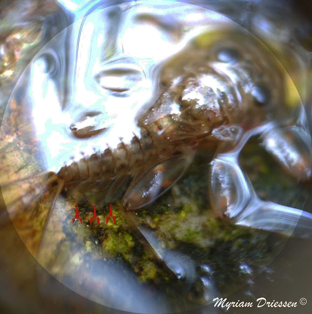 larve ephemere
