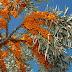 Sea Buckthorn - Hippophae Rhamnoids - Mirghenz میرغِنز