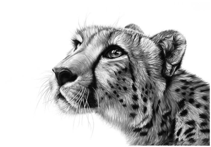 10-Cheetah-Pencil-Richard-Symonds-Wildlife-Fine-Art-Drawings-a-Painting-and-a-Video-www-designstack-co