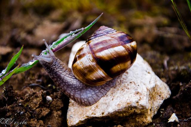 Охлюв, Snail