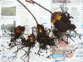 maasta nostettuja narsissien sipuleita juurineen