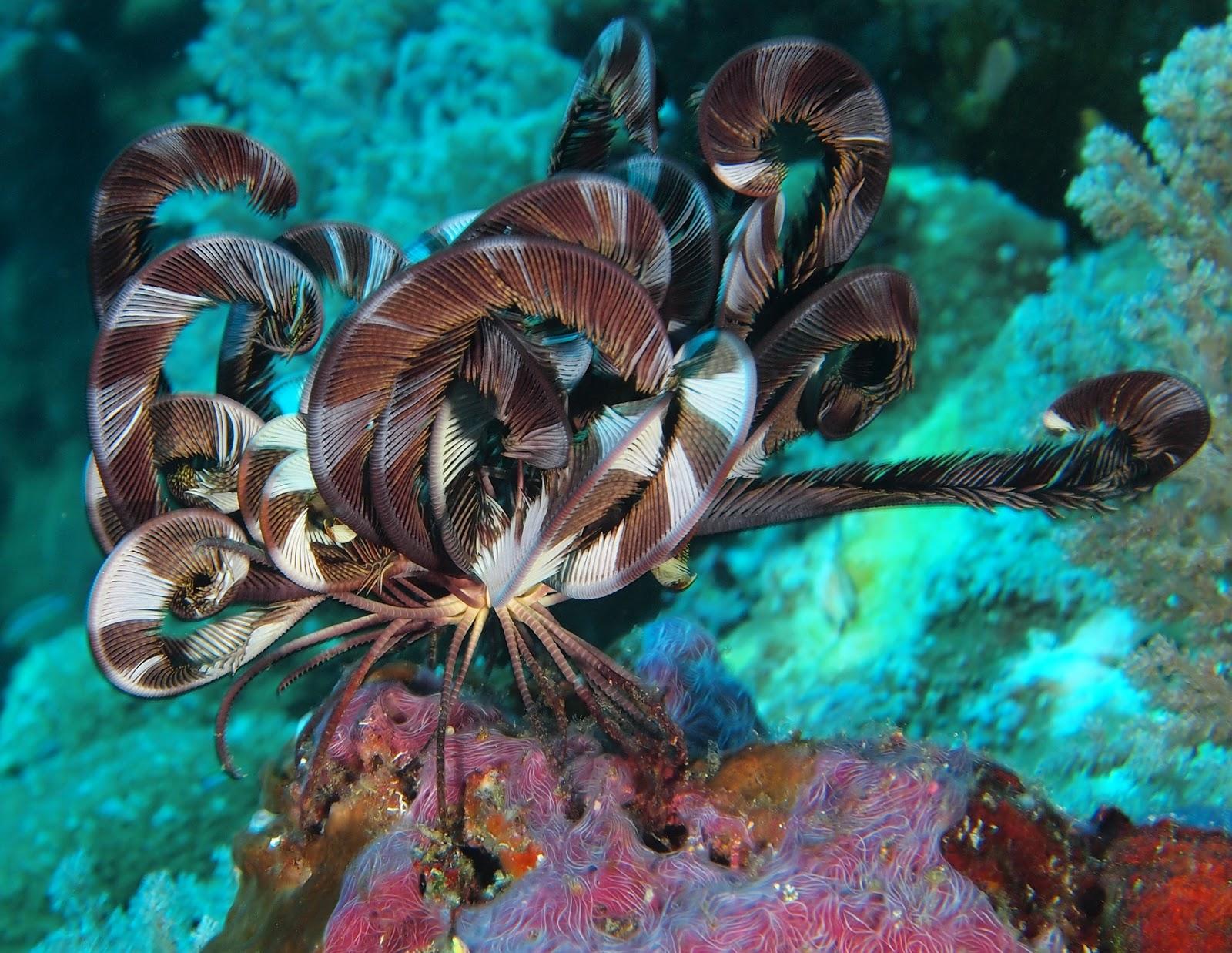 Полосатая морская лилия - фото