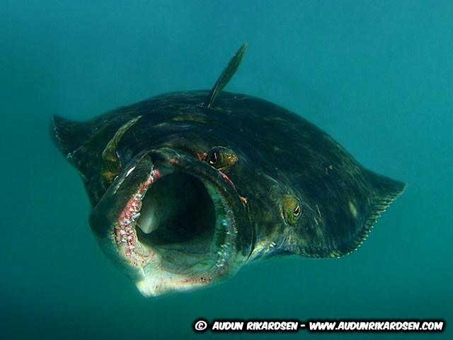 Something Fishy Going On: Most Wanted : Atlantic Halibut.