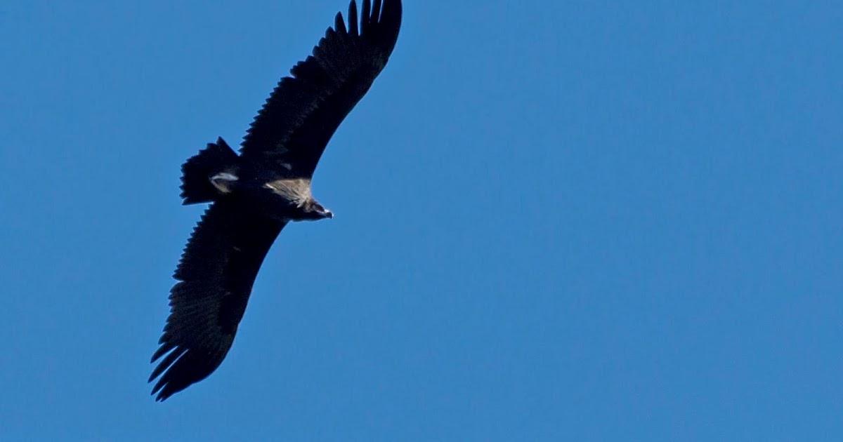Docnatureblog el ave rapaz m 225 s grande de europa el buitre negro